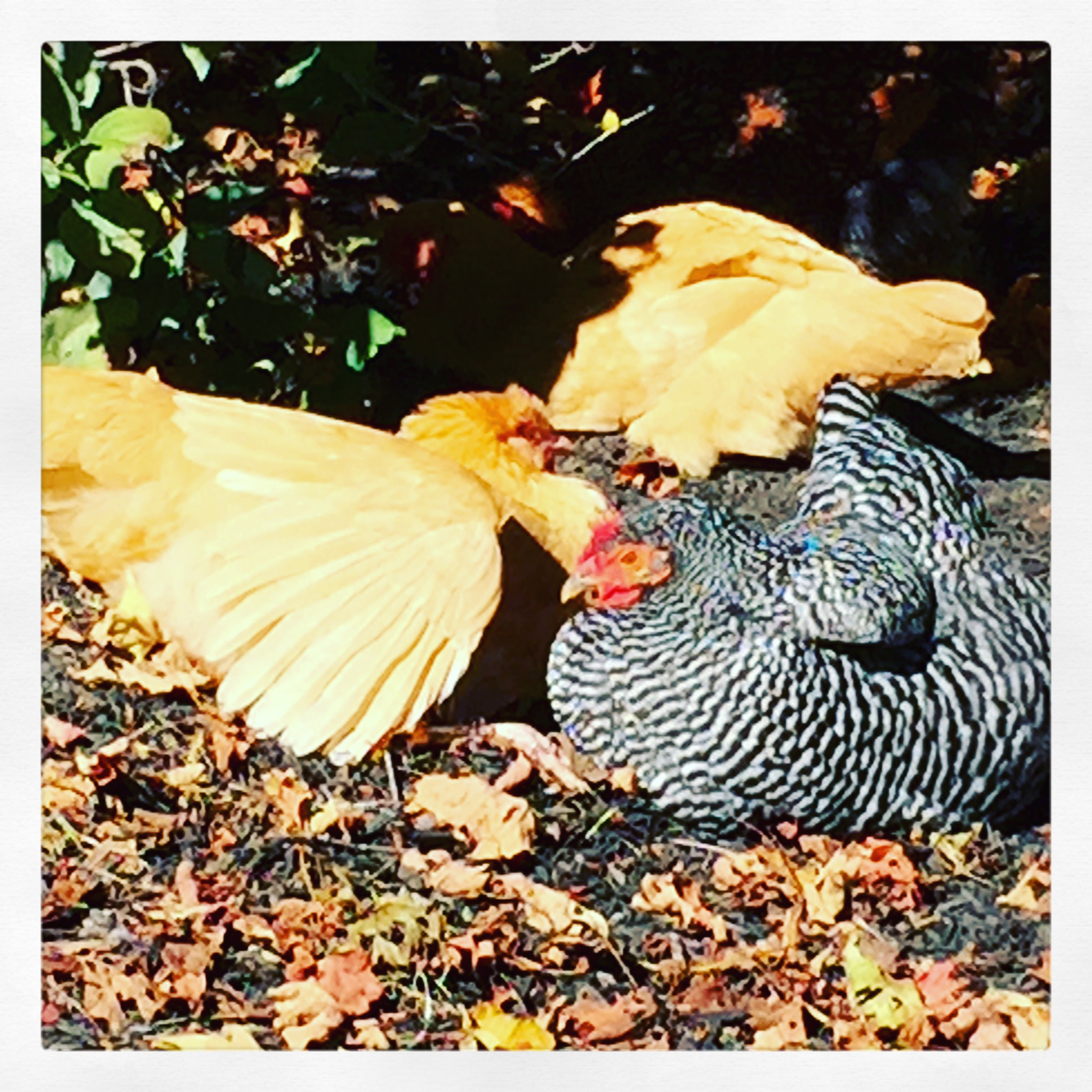 A warm day= happy chooks