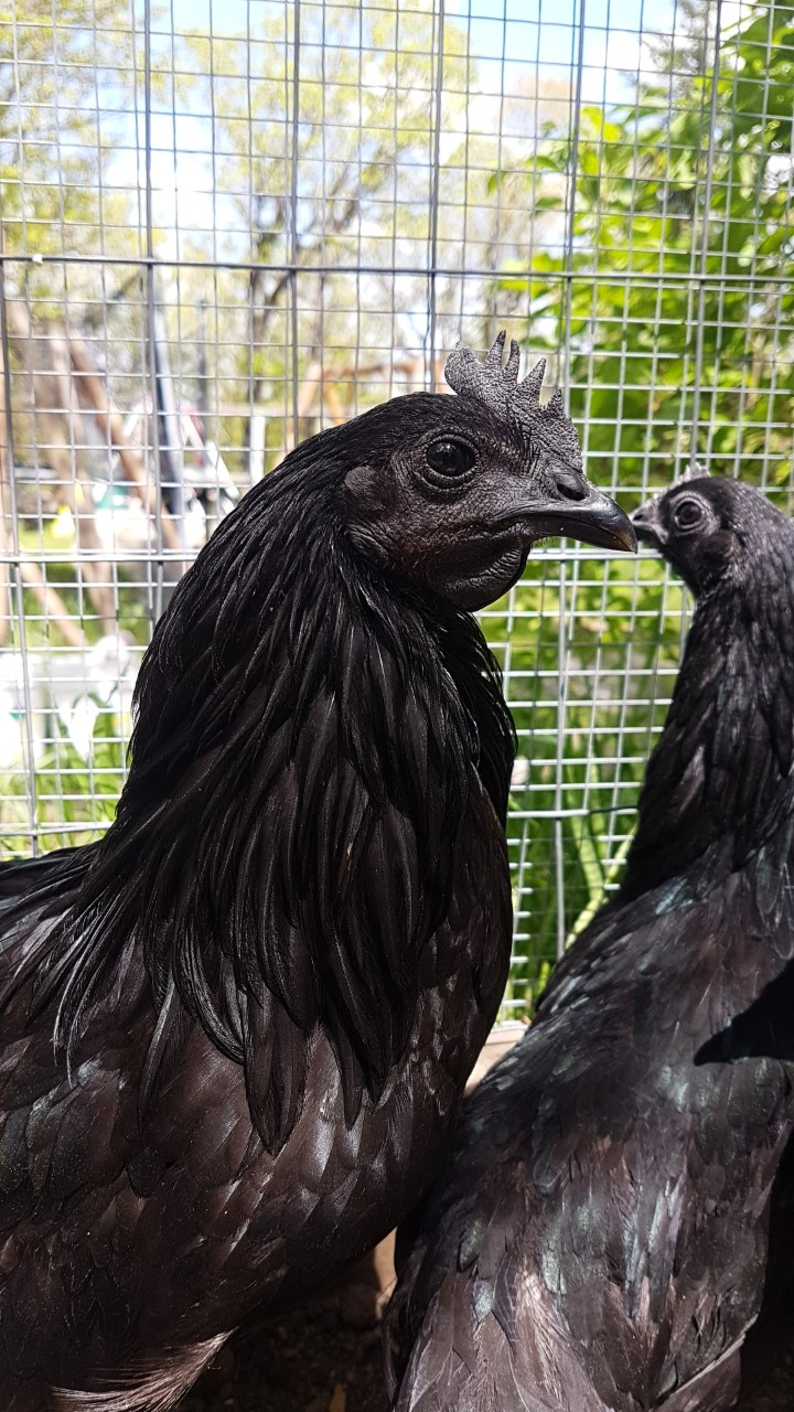 Ayam Cemani Cockerel
