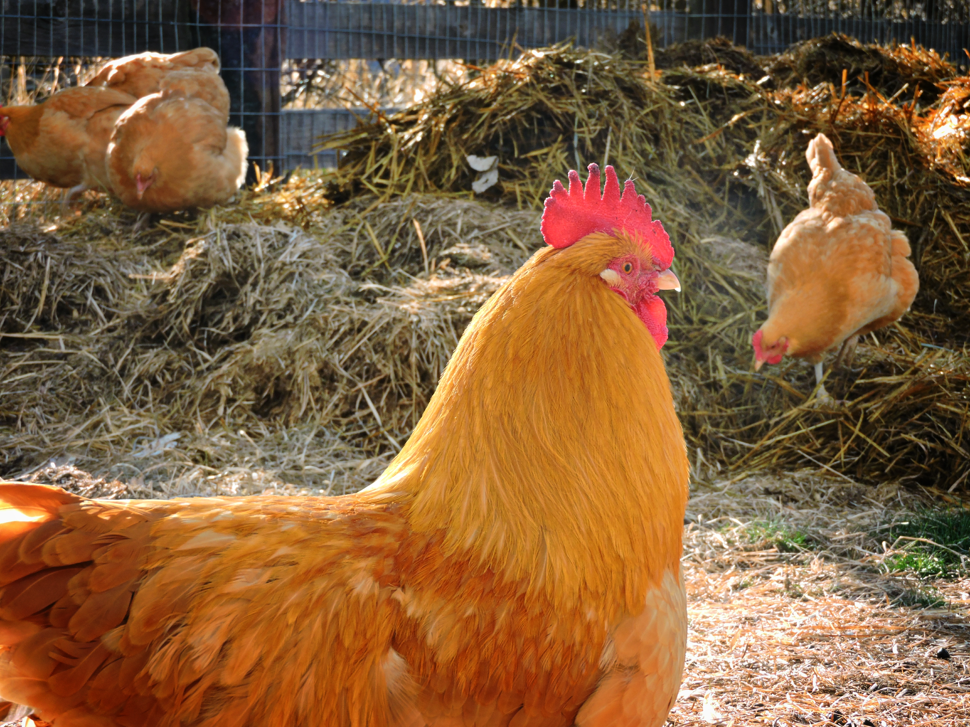 Buff Orpington Rooster & Flock | BackYard Chickens - Learn ...