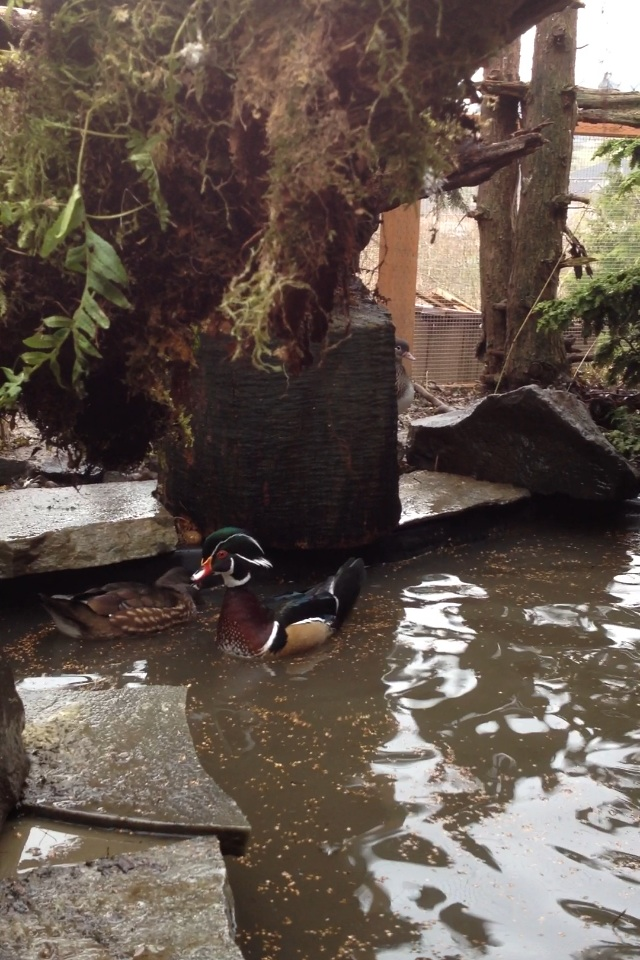 Normal wood duck pair.