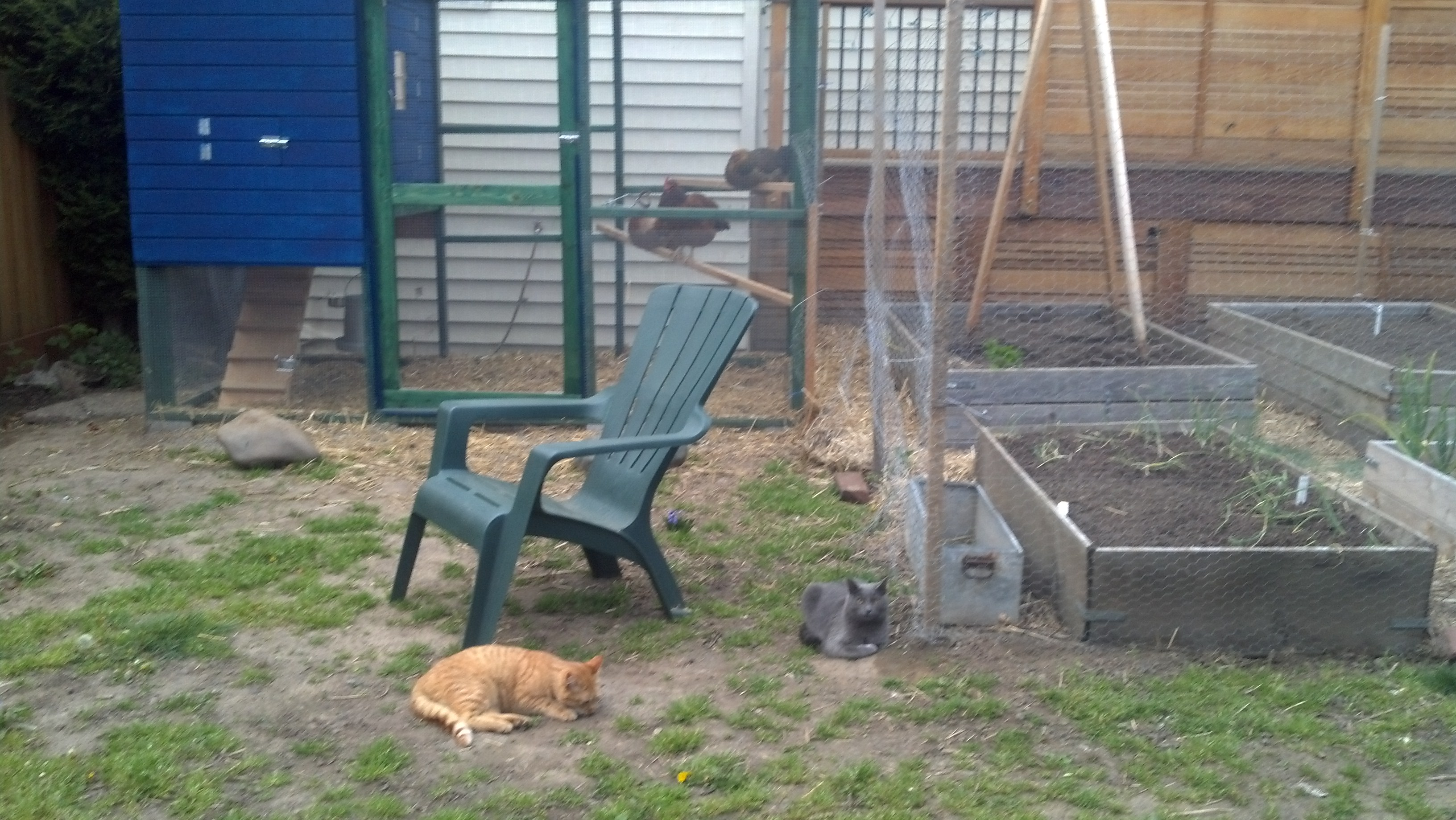 this is the front of the brand new coop with our two found kitties, biff and shadow whom we tamed as feral kittens. they hang with chickens!