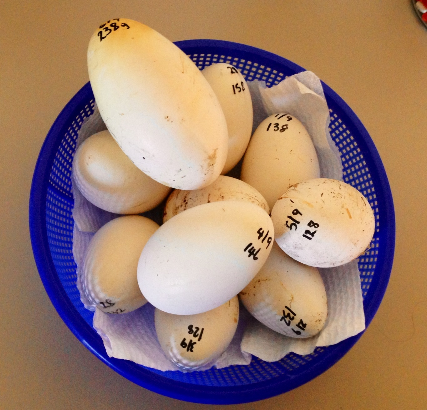 this weeks batch of eggs from my girls with peppers whopper 238