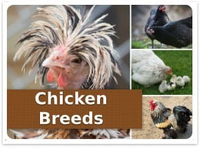 Chicken breeds