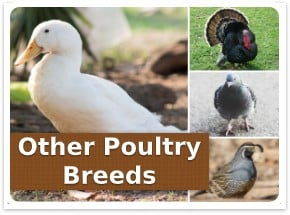Other poultry breeds