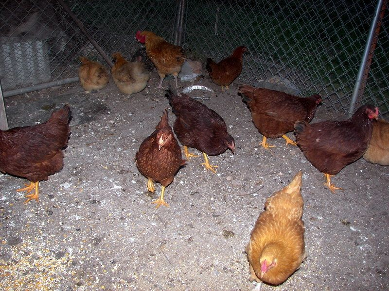 104_4370.JPG I have 6 new Rhrode Island red Pullets what do you think of them?