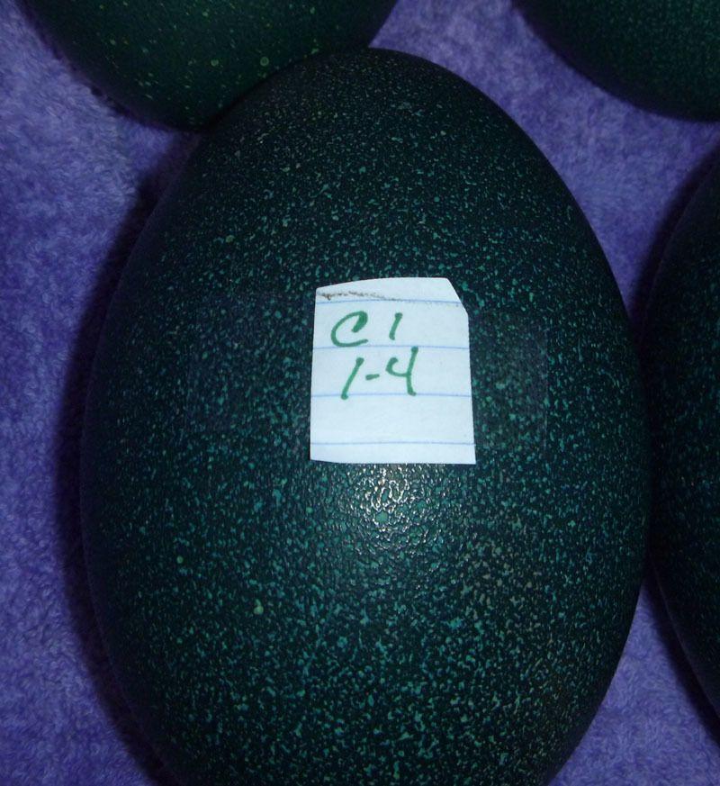 Emu egg C1.jpg