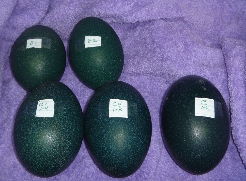 Emu eggs first 5.jpg