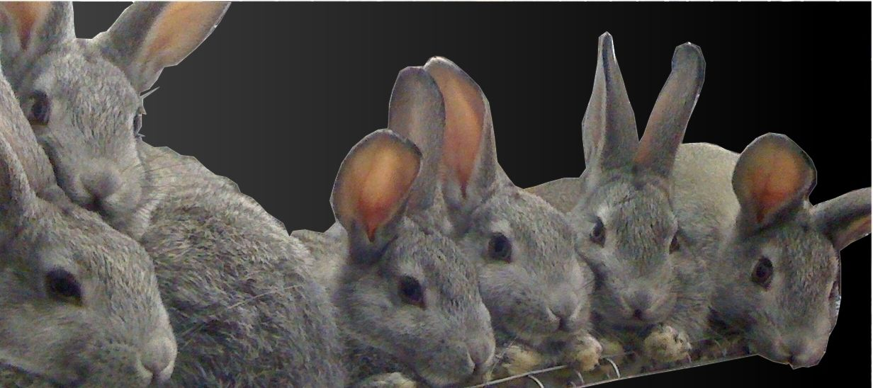 American Chinchilla's - rare breed, endangered by ALBC