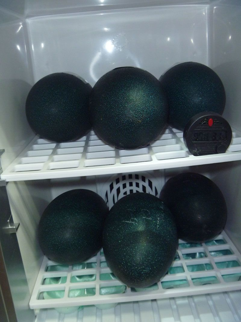 6 emu eggs in Reptipro.jpg