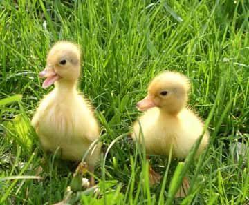 baby-ducks-7.jpg