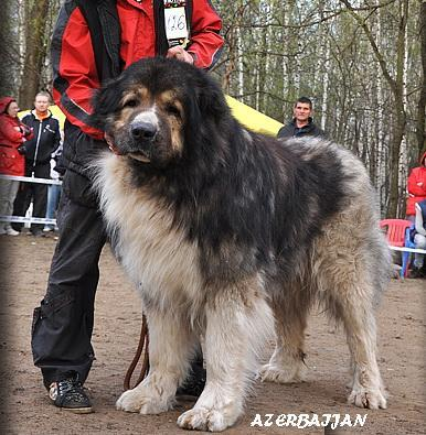 Azerbaijan mountian sheep dogs.jpg