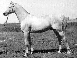 Karabak horse.jpg