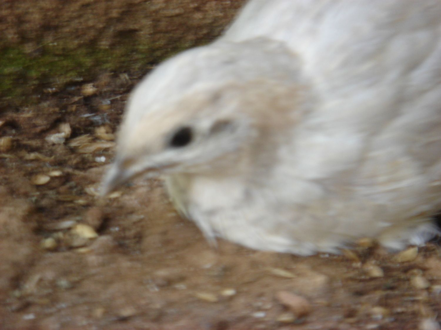Is this silver button quail a male or female?
