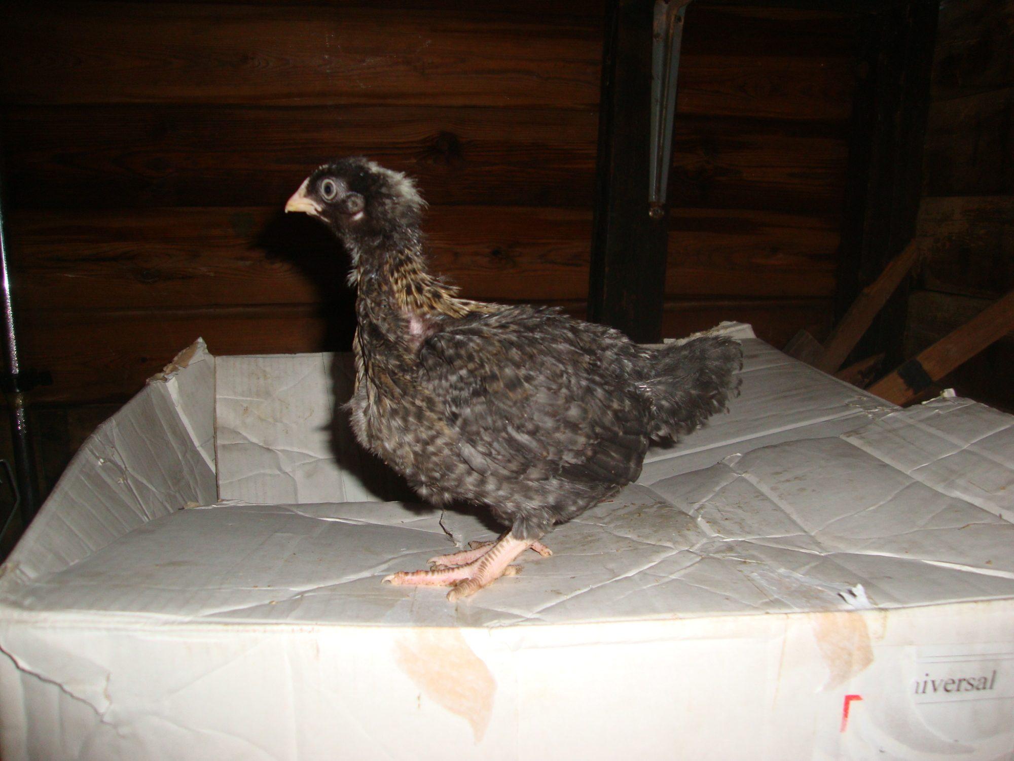 chick4 (1).JPG