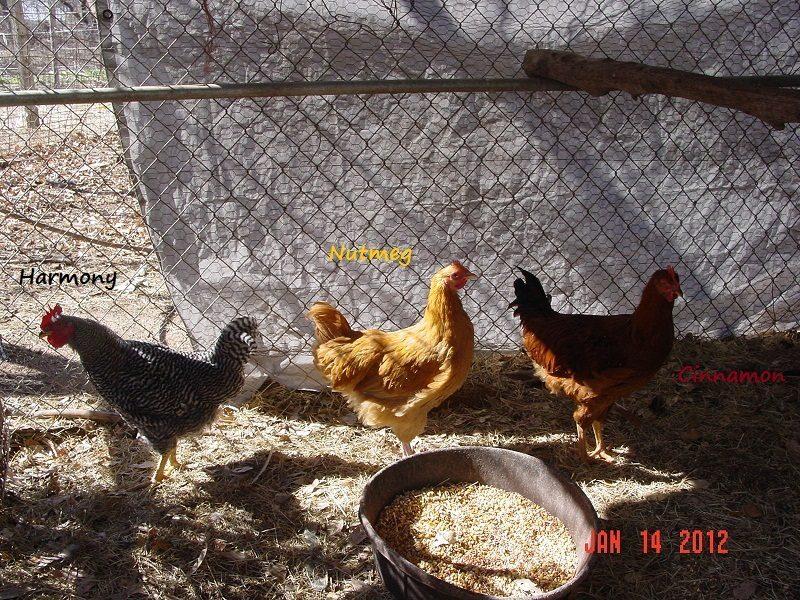 chickens 2012 (2).jpg