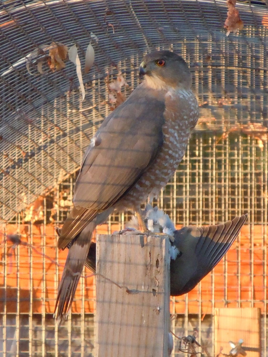 Cooper's hawk in the run, eating a dove
