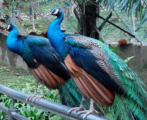 peacock10.jpg