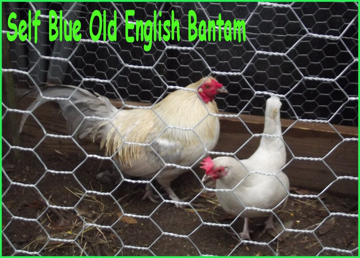 self blue bantam 2.JPG
