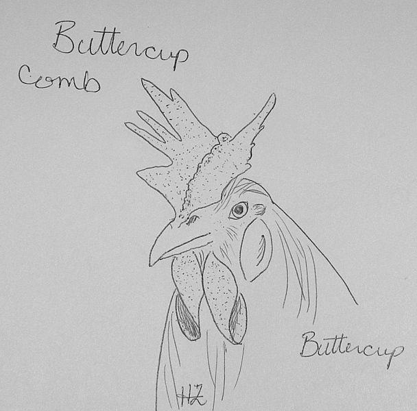 buttercup-1.JPG