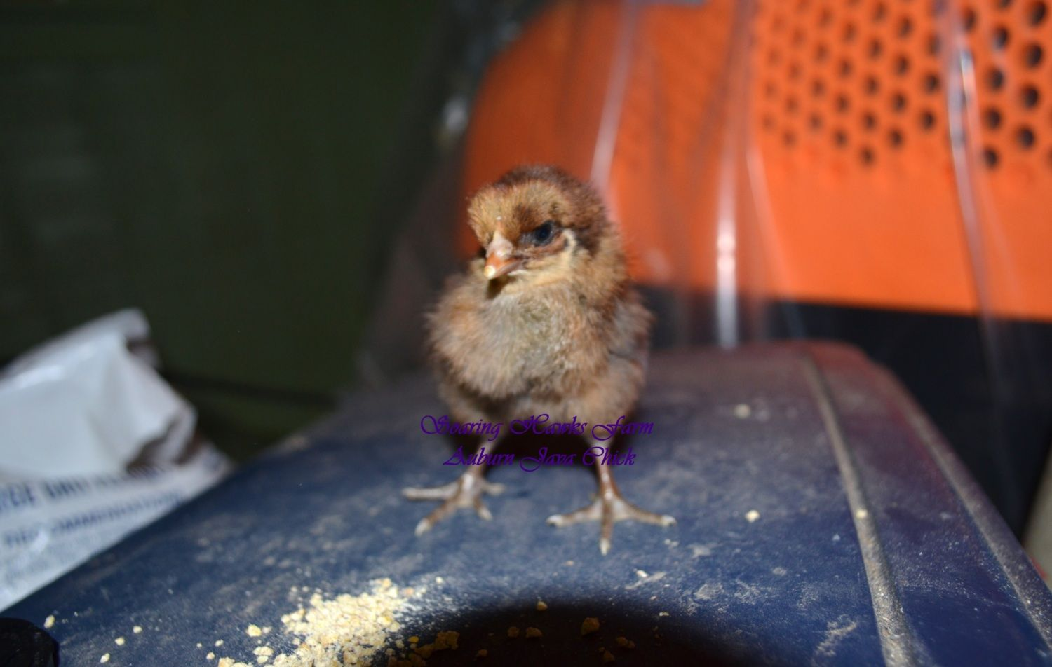 2-2012 first to hatches of the year.(oel x jg) 026.JPG