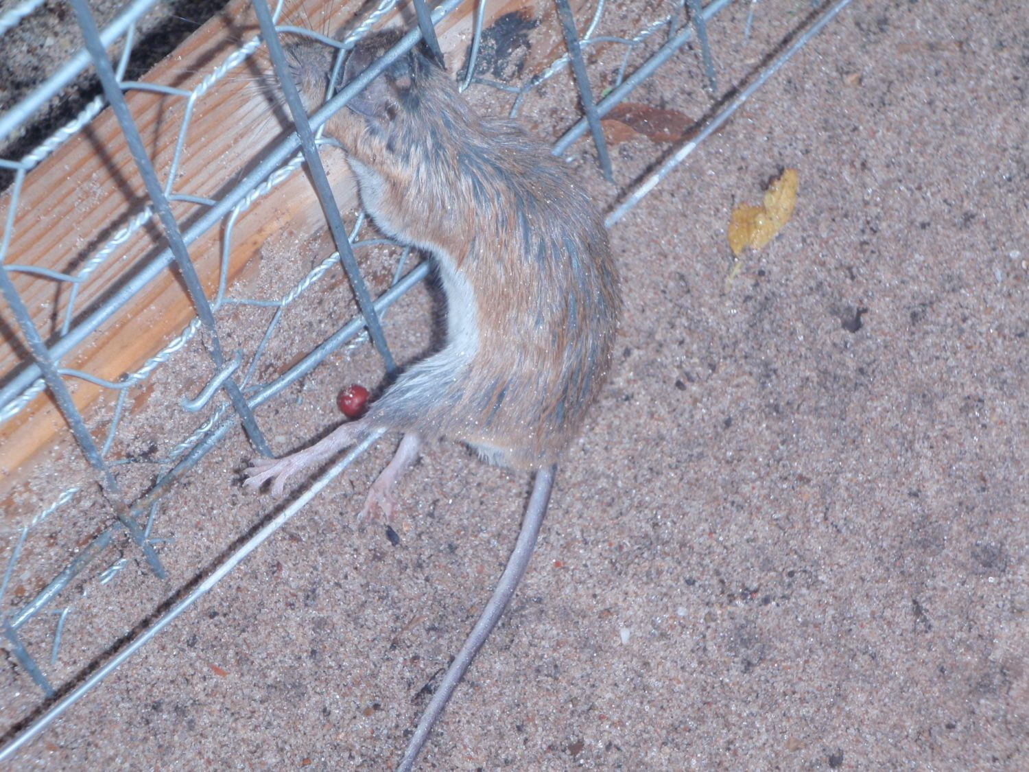 mice getting fryed 001.JPG