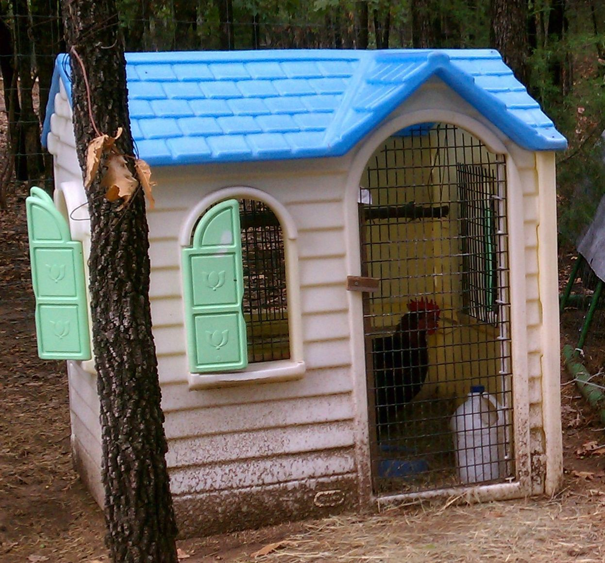 raising chickens on a shoestring   backyard chickens community