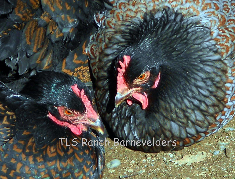 Tls Ranch Barnevelders Backyard Chickens Community