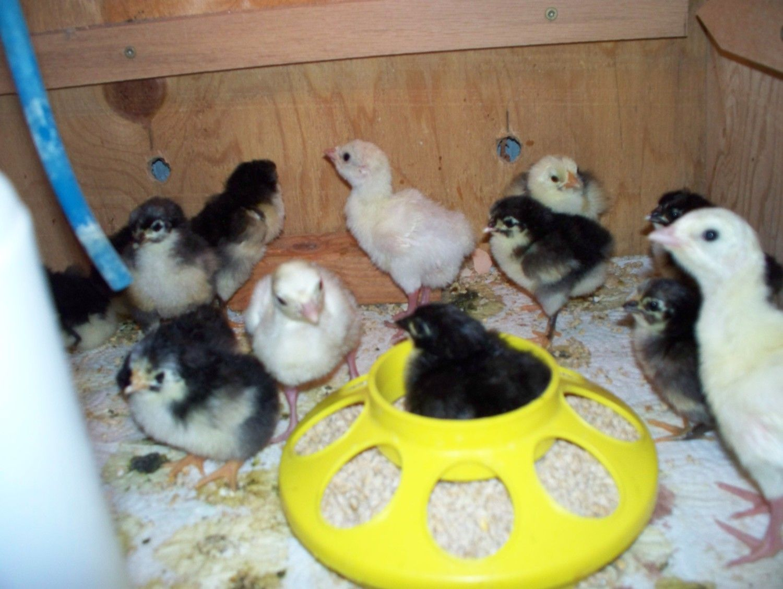 Crele Chantie chicks 001.jpg