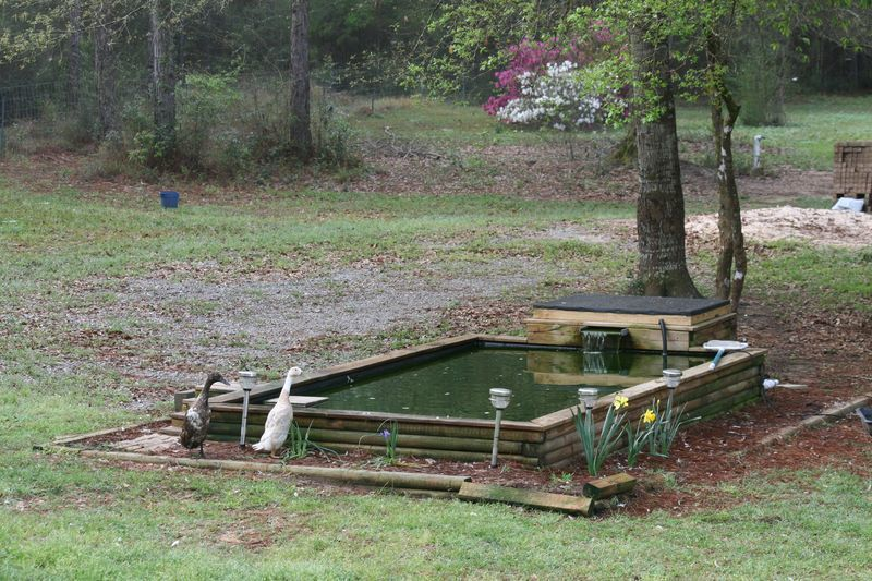 Diy Backyard Duck Pond : Duck pond questions