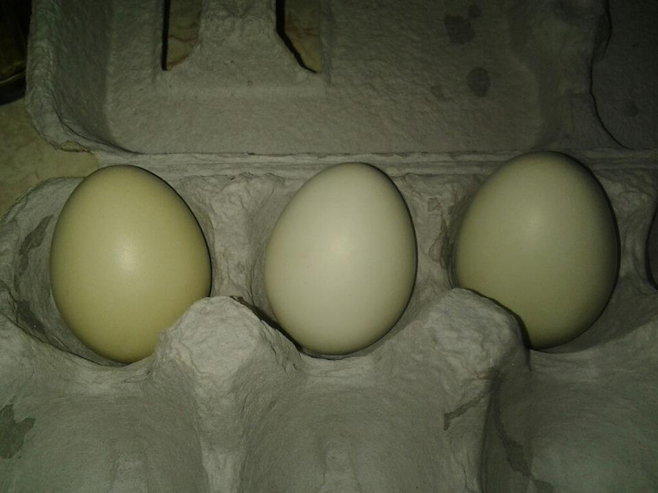 My first three eggs. 14th was the first Egg 19th second and 20th was the third. All three are about 3 cm high.