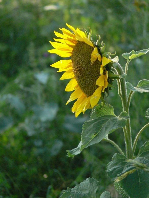 BlackOilSunflower1.jpg