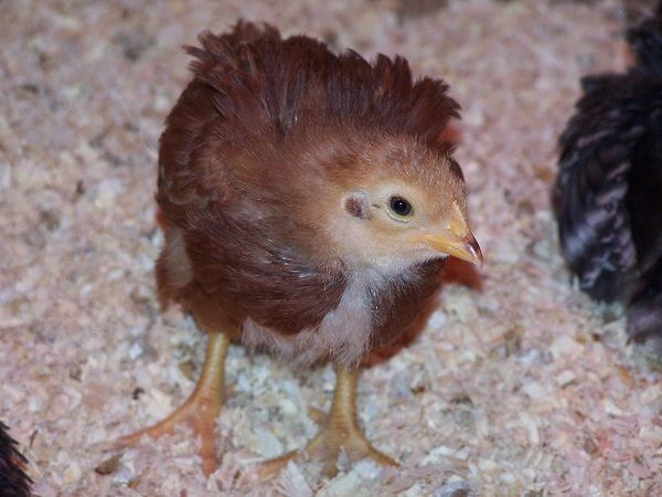 Chicks Day 21 011.JPG