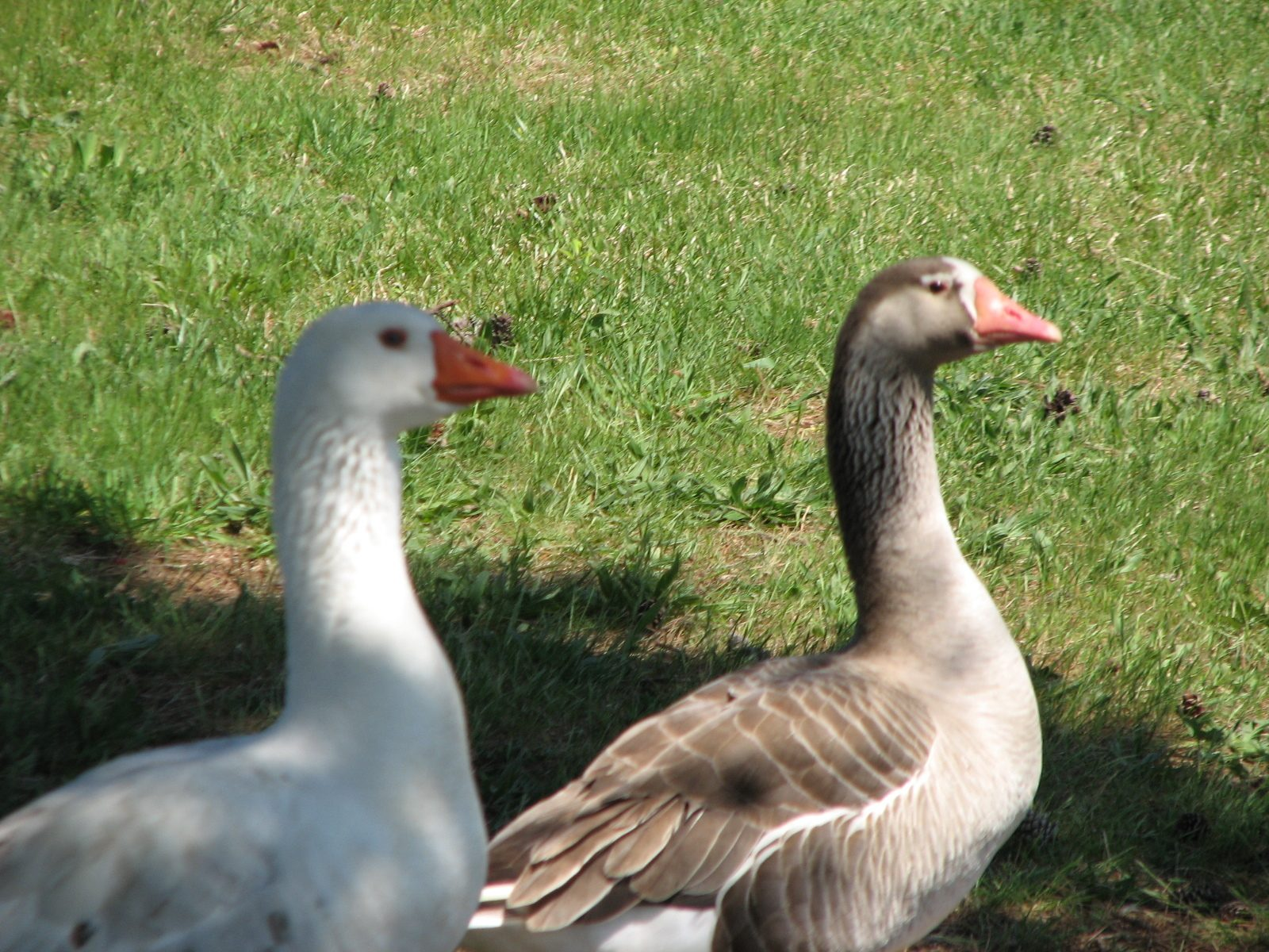 how to tell the sex of geese