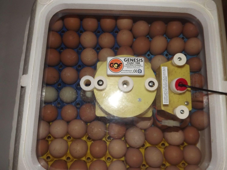 eggs 001.JPG