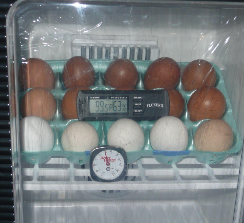 Gold Legbar Eggs.jpg