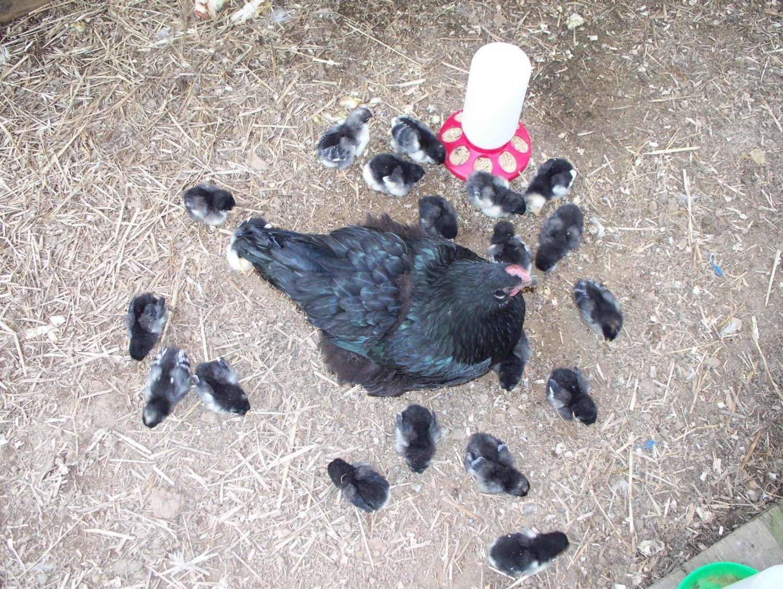 Chicken Tracter 010.jpg