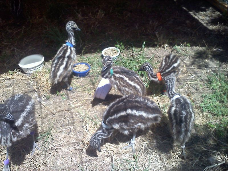 herd of emu chicks.jpg