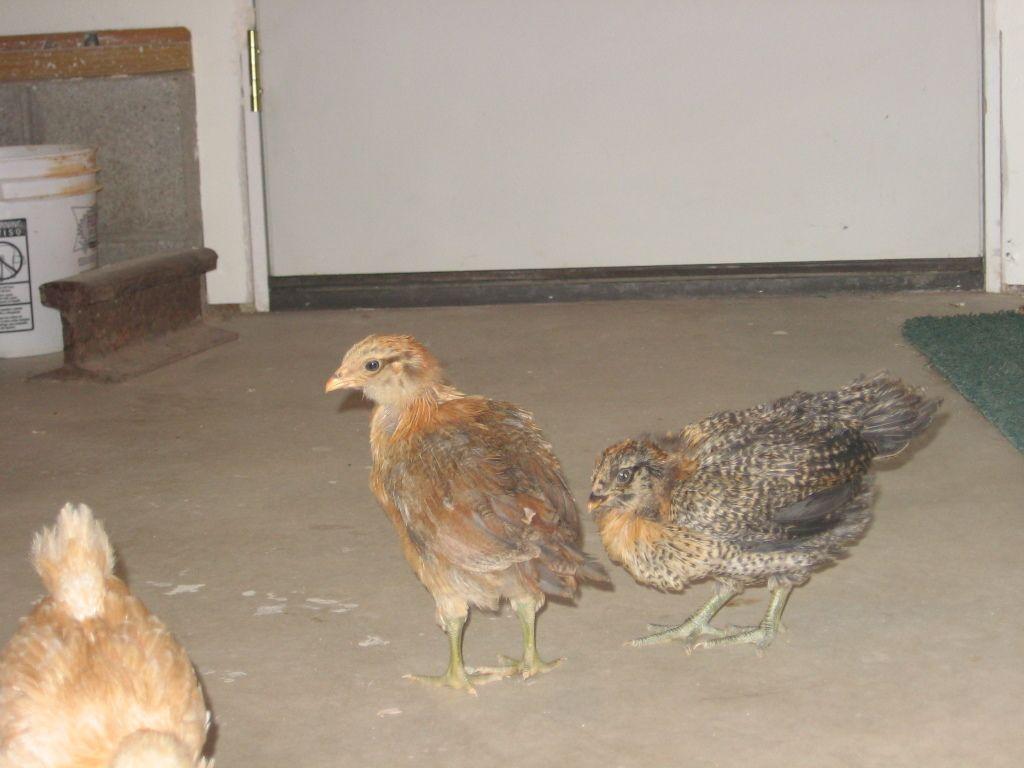 chicken 013.JPG