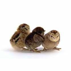 EE chick.jpg