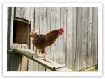 raising-chickens-housing.jpg