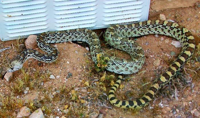 Bull Snake 005.JPG