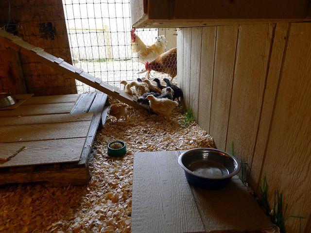 chicks 437.jpg