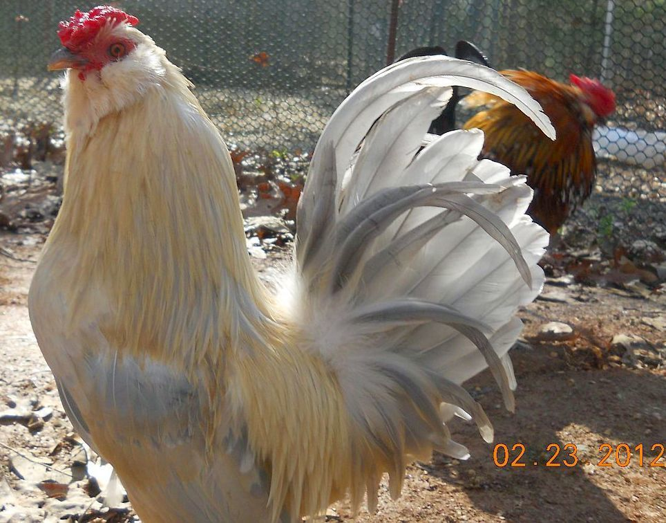 bantam guys Shop from the world's largest selection and best deals for bantam poultry supplies shop with confidence on ebay skip to pictures do not do these guys justice.