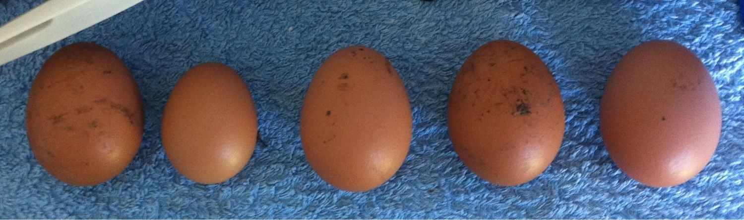 First pullet egg, second from left.