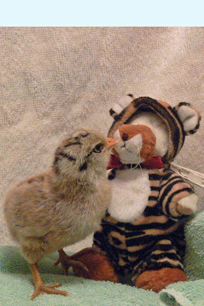 Tiger and a tiger2.jpg