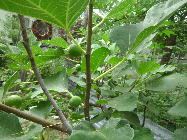 fig tree 008.JPG