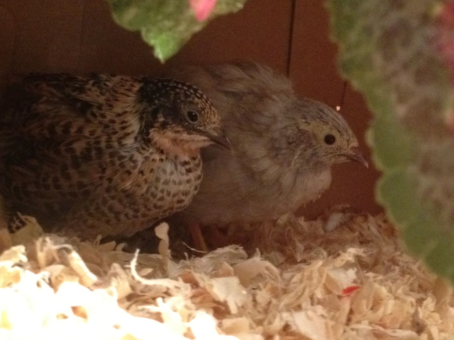 What colors are my new Button Quail?