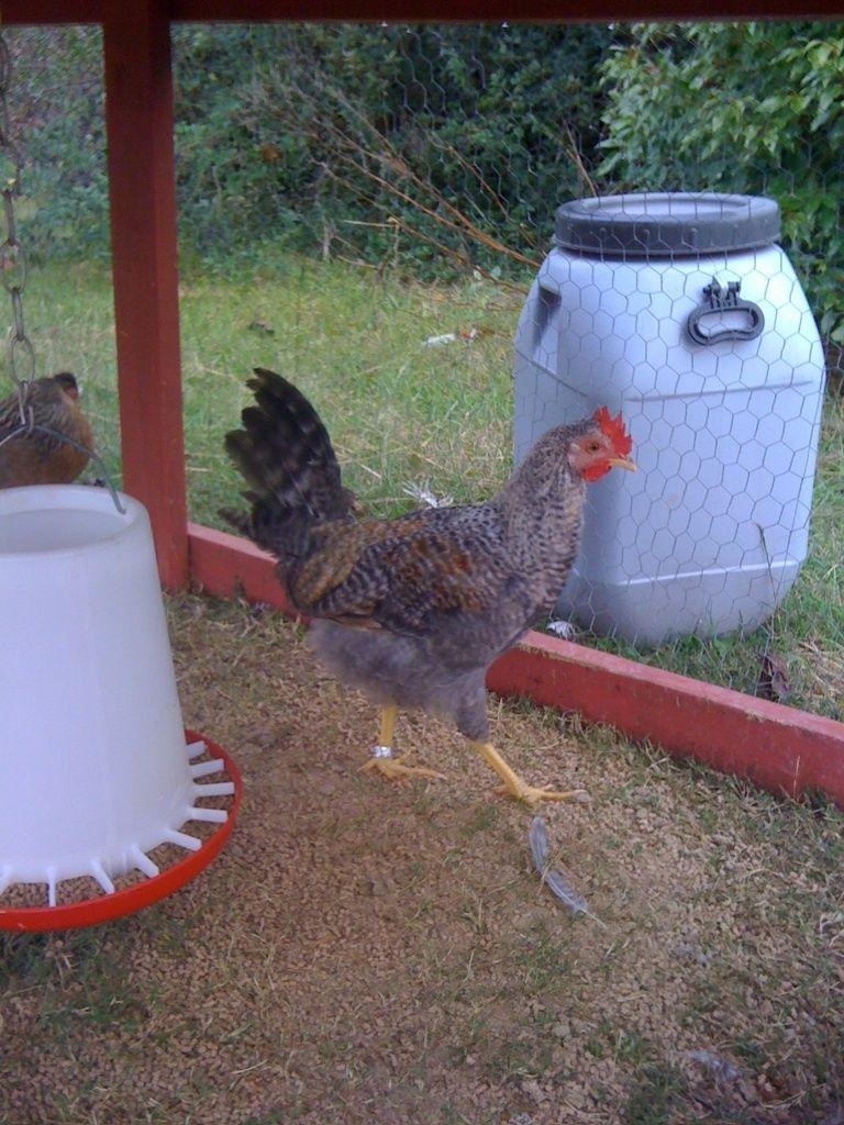 CL rooster Dec 4.JPG