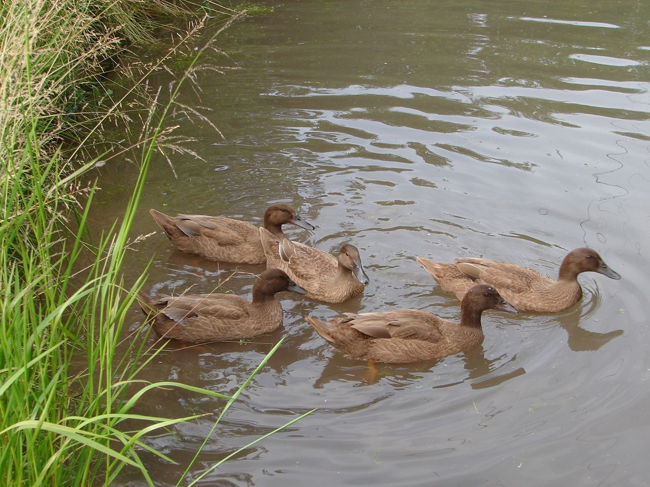 Here's my five girls on the pond yesterday. Think I have almost as many photos of my ducks as I have of my grandkids!