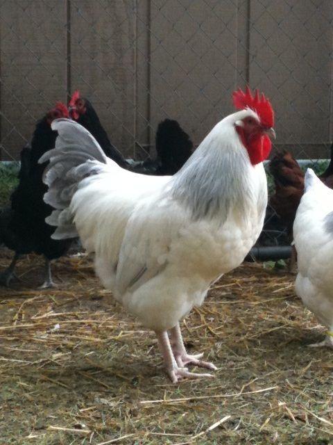 Coronation Rooster.jpg
